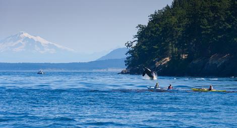 跳ぶシャチ・クジラ